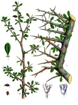 Mira (Commiphora myrrha)